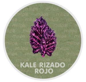 Kale rizado rojo